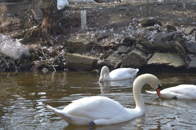 Swans on the Vltara River