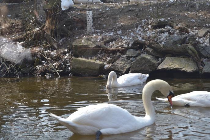 Swans on the Vltara River